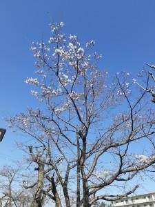 20200325桜